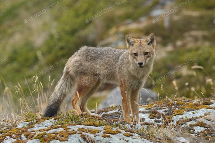 Andean Fox on the Shore