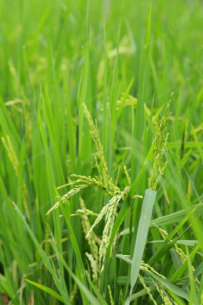 green paddy rice