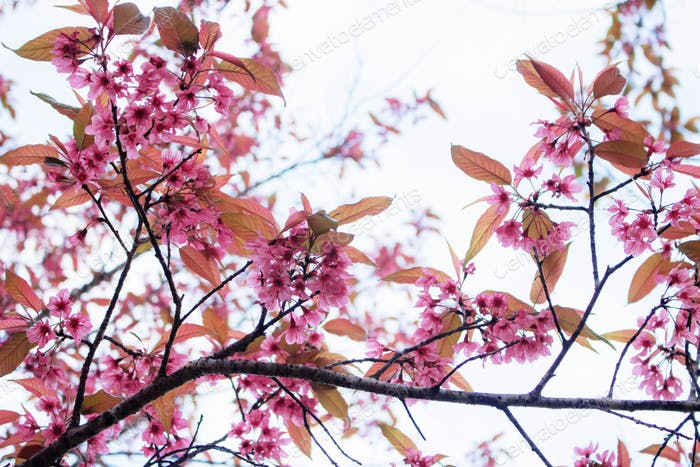 Pink cherry blossoms with sky