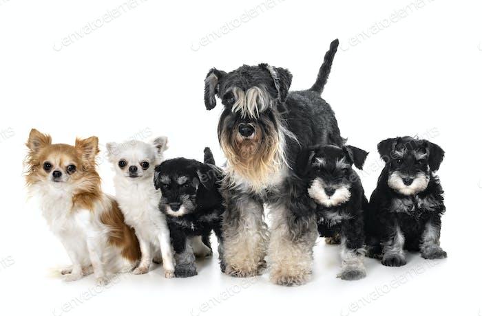 littles dogs in studio
