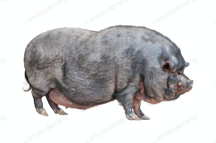 Pot-bellied pig cutout