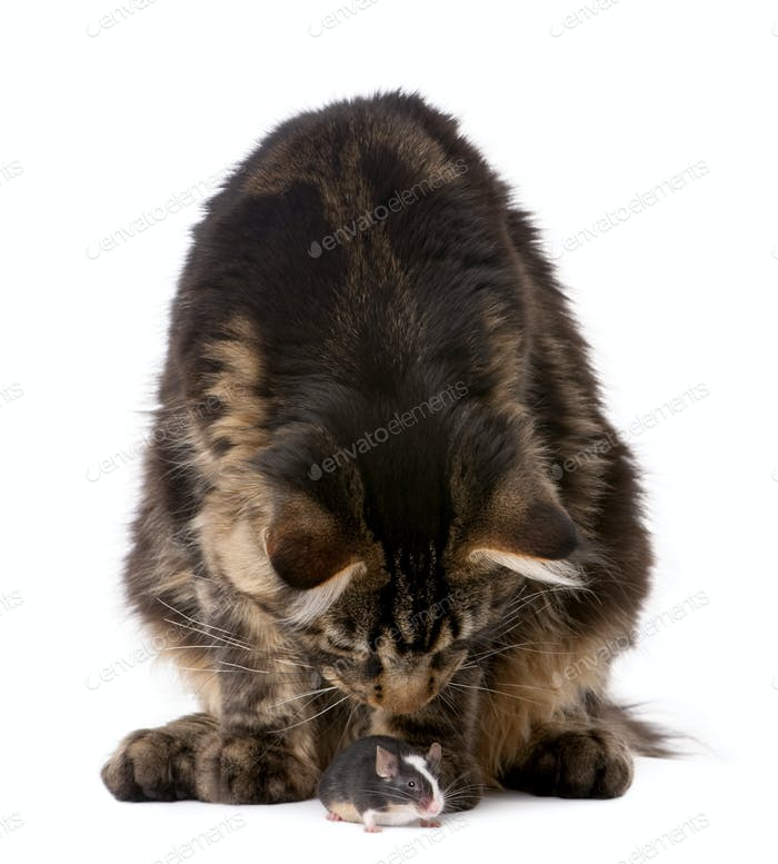 Maine coon smelling mouse, 7 months old, in front of white background