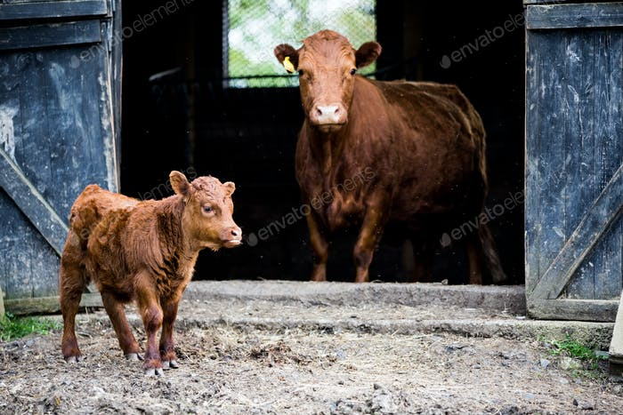 Brown cow and calf standing outside a barn on a farm.