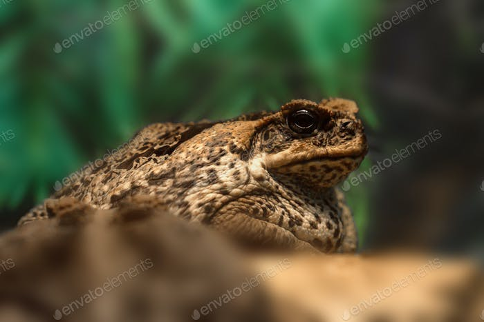 Cane toad or Rhinella marina close