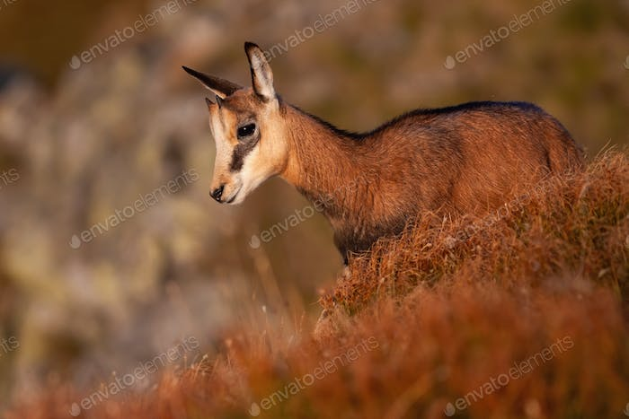 Little tatra chamois standing in mountains in summer at sunset