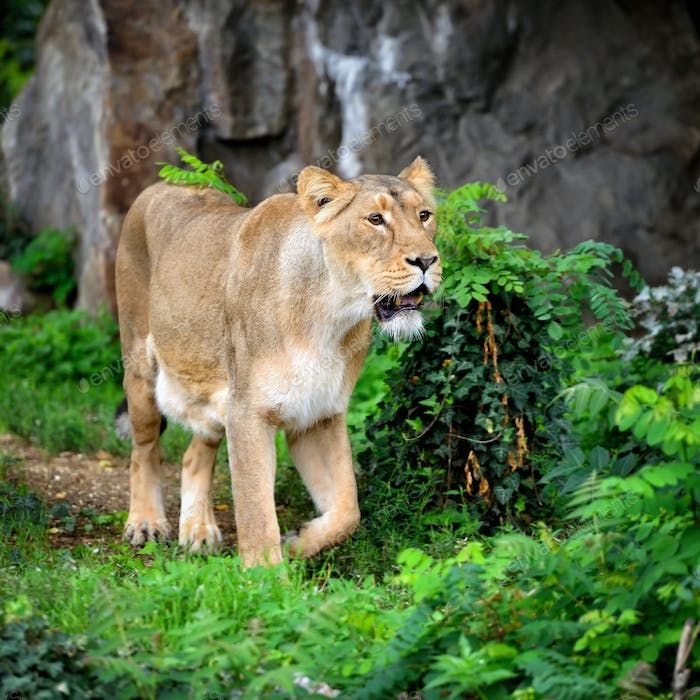 Lioness (Panthera leo) standing in green grass, looks out for pr