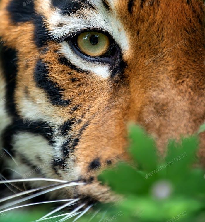 Bengalen Tigerauge suchen