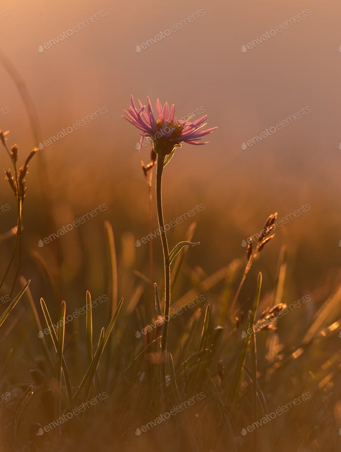 Mountain flowers in the early morning