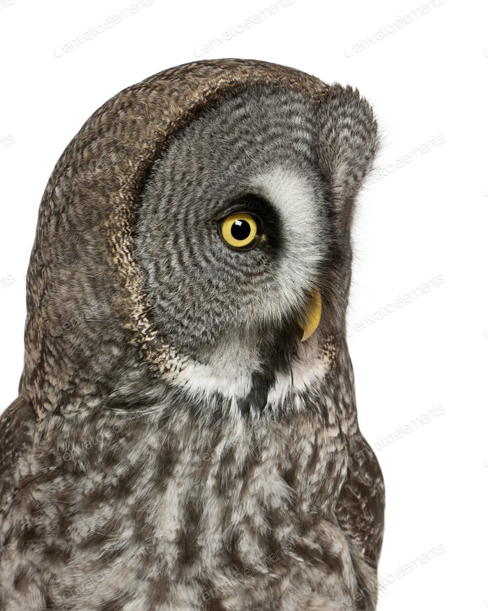 Close up of Great Grey Owl or Lapland Owl, Strix nebulosa, a very large owl
