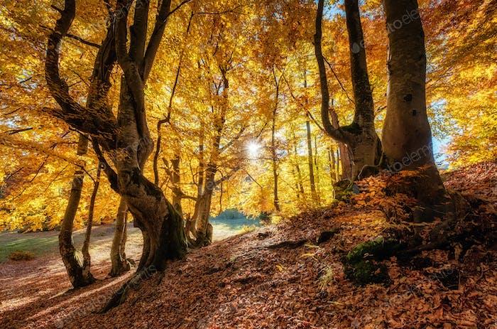 Bosque de otoño y sol como fondo. Paisaje natural de otoño en el bosque.