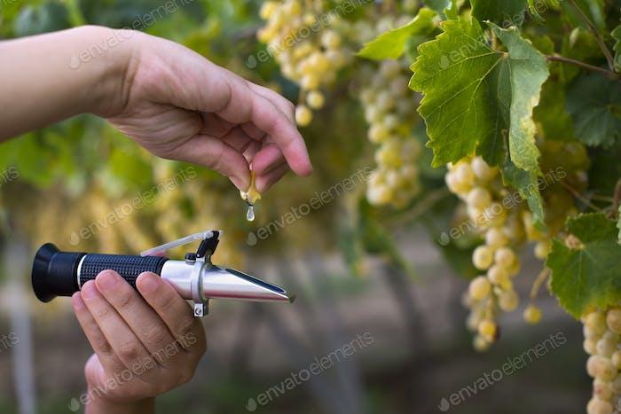 Farmer measure grape sweetness with refractometer.