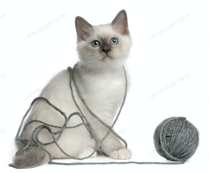 Birman Kitten, 2 months old, playing with a ball of yarn in front of white background