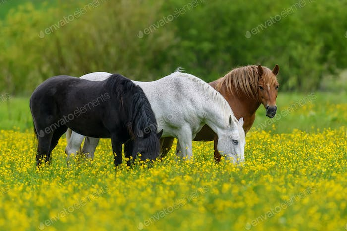 White, black and brown horse on field of yellow flowers
