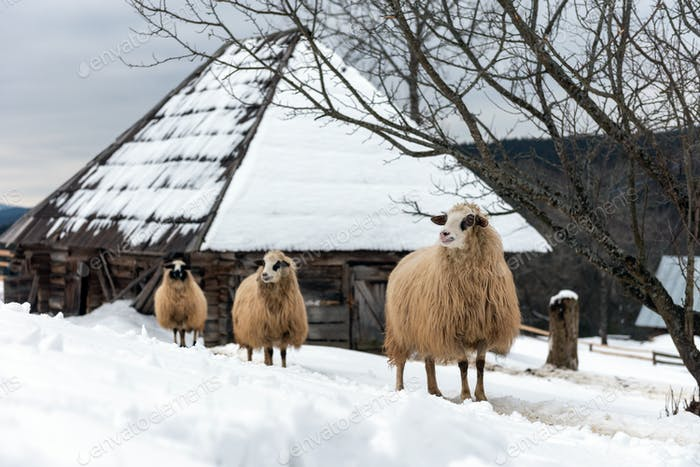 Junge Schafe in den Bergen