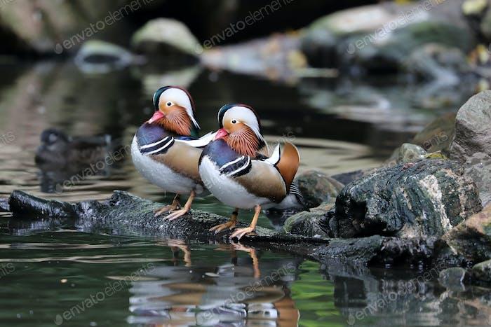 Mandarin duck on stones near water, close up