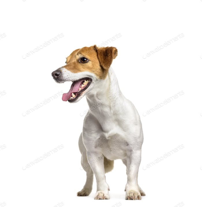 Jack Russell dog standing and panting, cut out