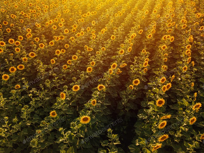Aerial view of sunflower field in summer sunset