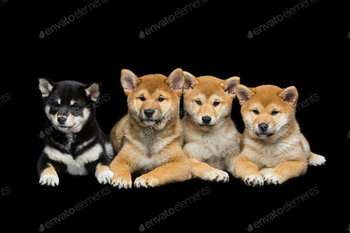 Beautiful shiba inu puppies