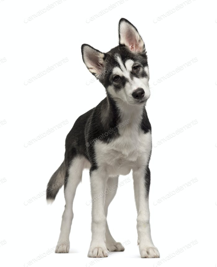 Standing Siberian Husky puppy, Dog, cut out