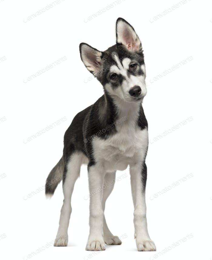 Stehende sibirische Husky Welpen, Hund, ausgeschnitten