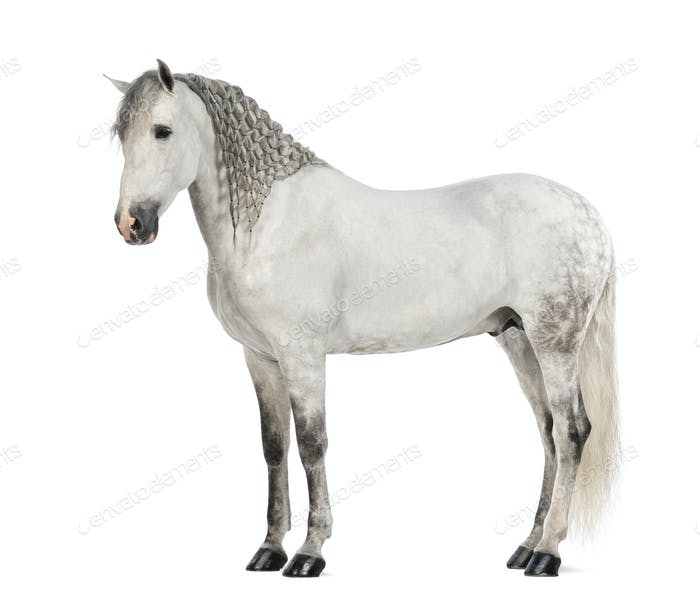Side view of a Male Andalusian with plaited mane, 7 years old