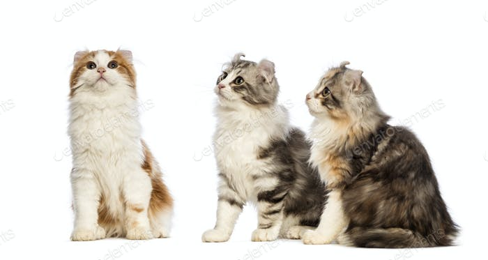 Three American Curl kittens, 3 months old, sitting and looking up in front of white background