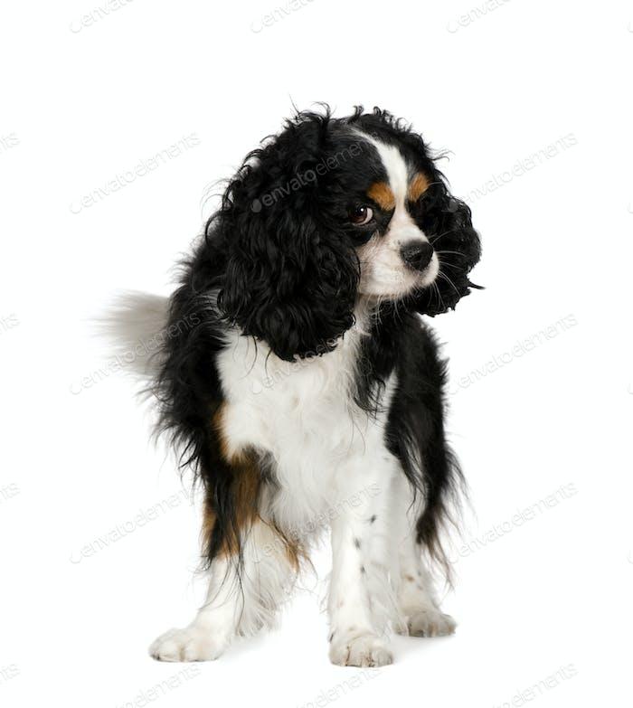 Cavalier King Charles Spaniel (5 years)