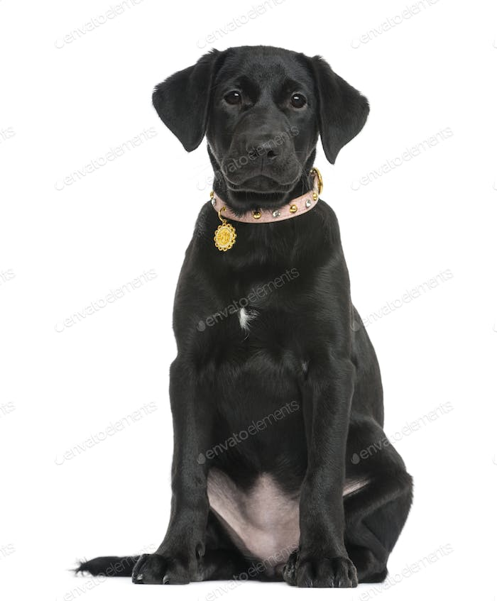 Front view of a Labrador retriever puppy sitting, 5 months old, isolated on white