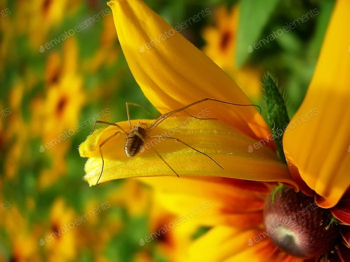 Spider on the petal of yellow daisies