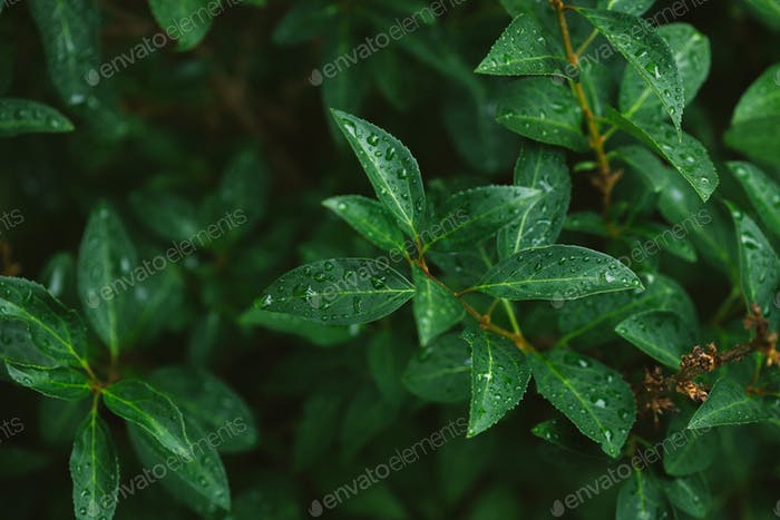 green leaves with water drops after rain