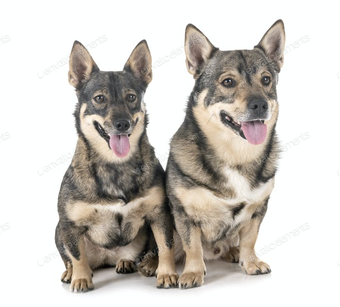 Swedish Vallhunds in studio