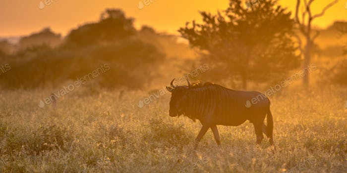 Savanna Orange light with wildebeest on S100 Kruger