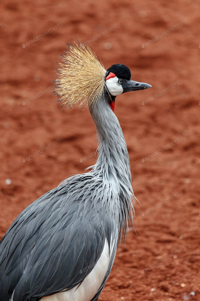 Beautiful grey crowned Common crane (Grus Grus)