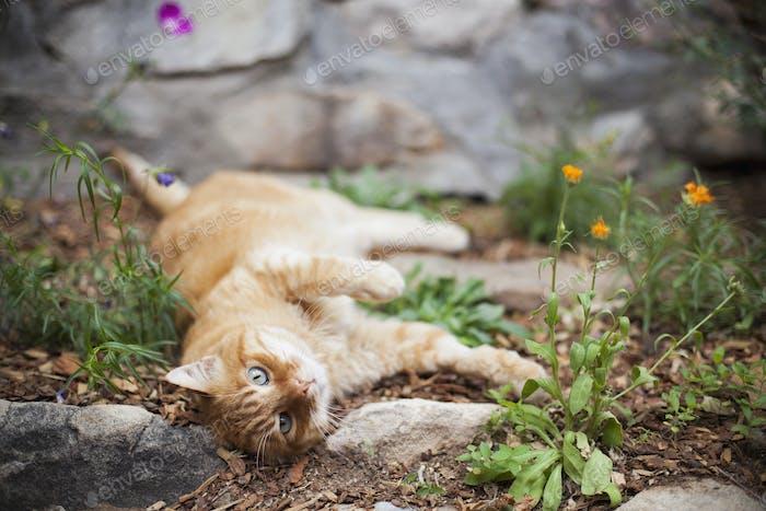 Orange getigerte Katze liegend im Garten