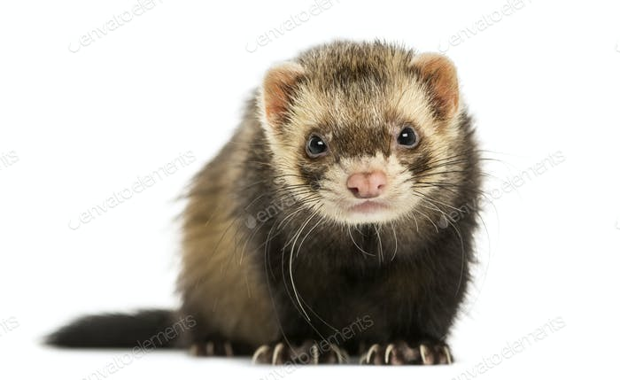 Front view of a Ferret looking at the camera, isolated on white