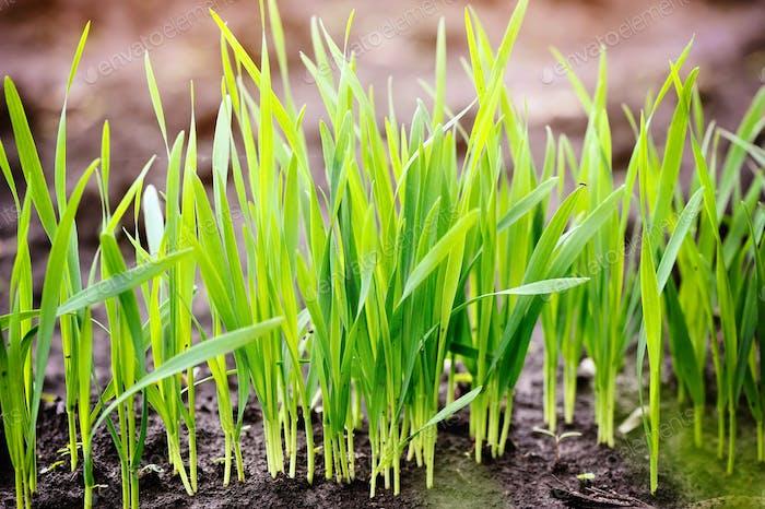Junge grüne Triebe von Weizen zu Beginn ihres Wachstums, ein