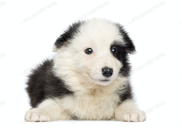 Border Collie Puppy, 2 months old, lying and facing, isolated on white