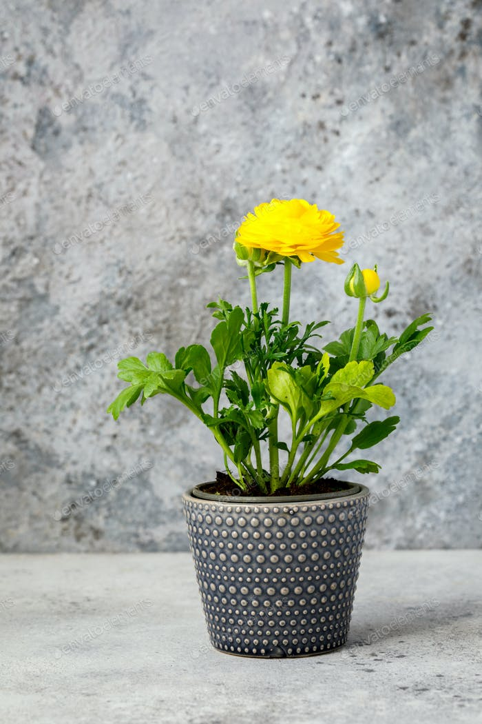Ranunculus  in a pot.Flower yellow color