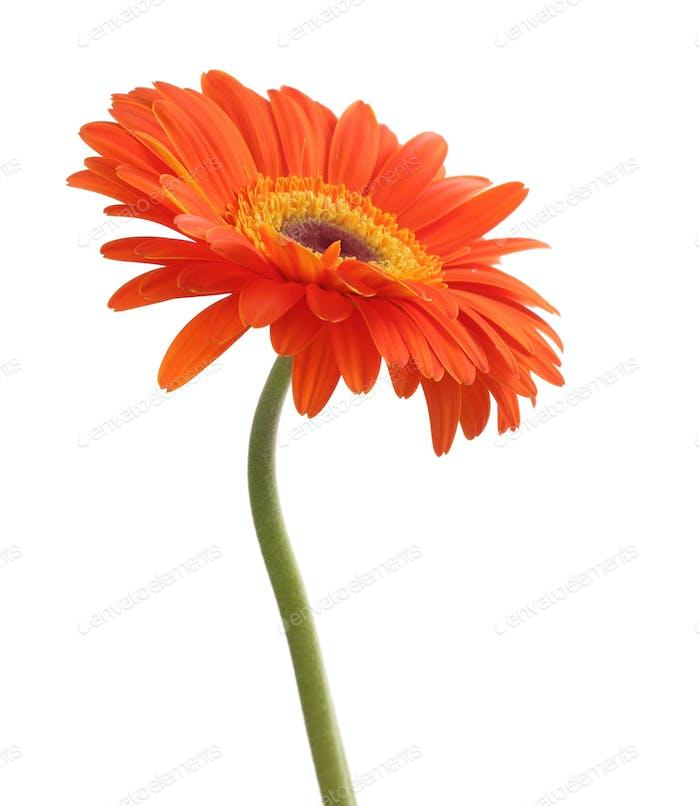 Gerbera-Blume