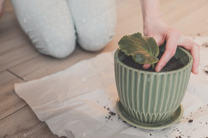 Woman plants sprouted violet leaf in pot at home