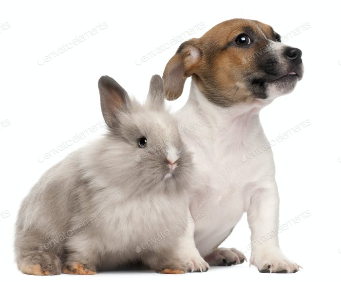 Jack Russell Terrier puppy, 2 months old, and a rabbit, in front of white background