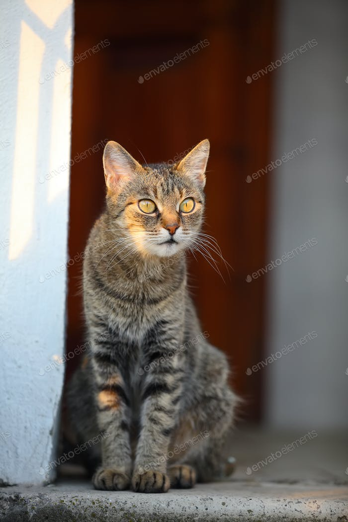 domestic cat looking into the distance