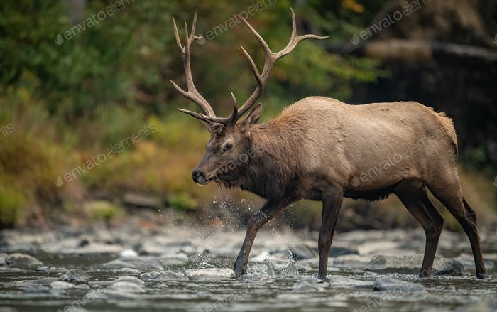 Elk Crossing a Creek