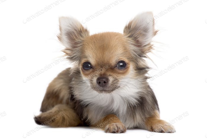 Front view of a Chihuahua lying, looking at the camera, isolated on white