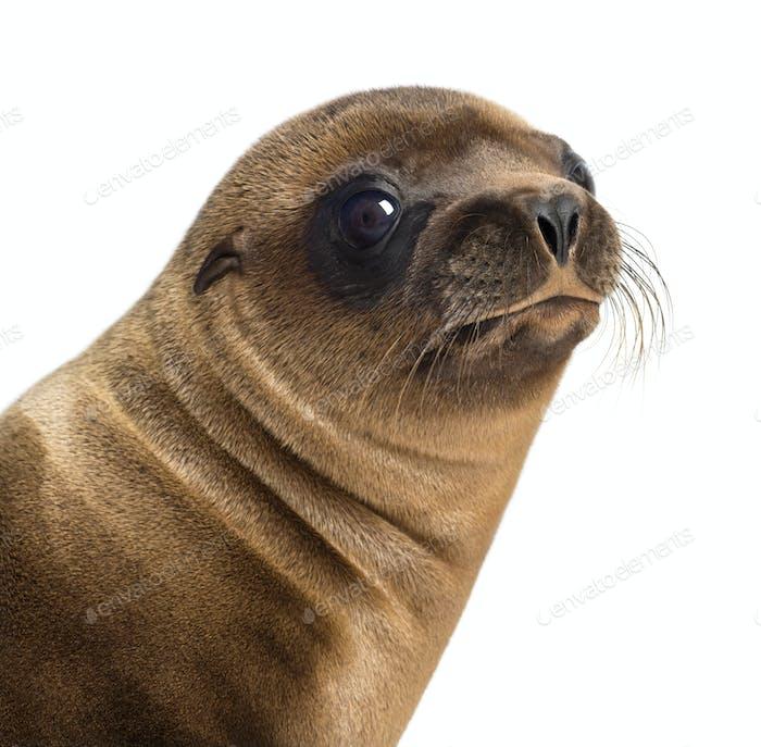 Close-up of a Young California Sea Lion, Zalophus californianus