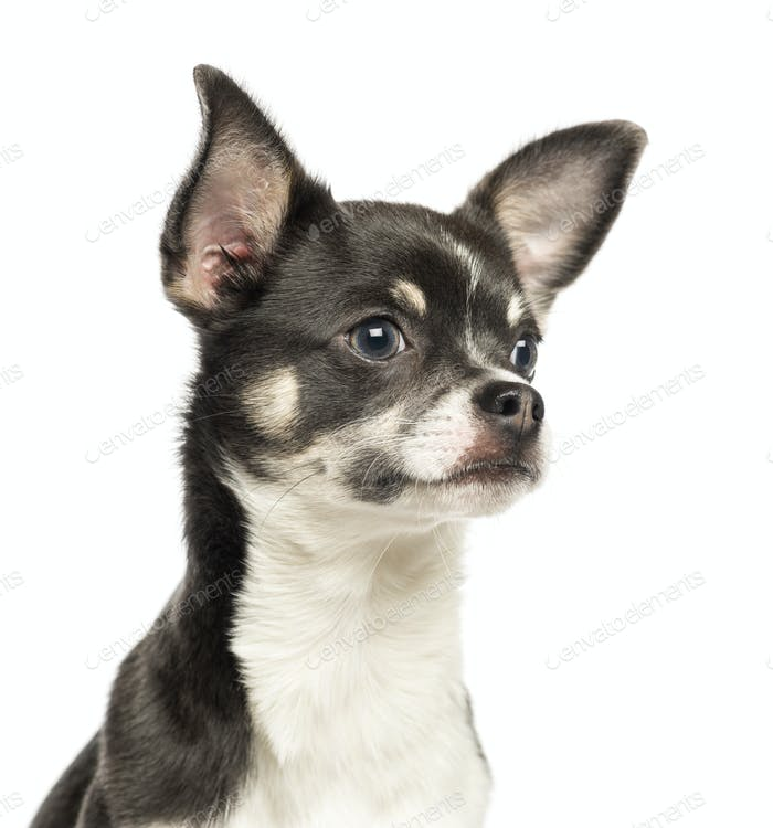 Close-up of a Chihuahua, 7 months old, isolated on white