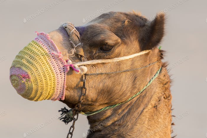 Camel in the desert near Dubai in the United Arab Emirates