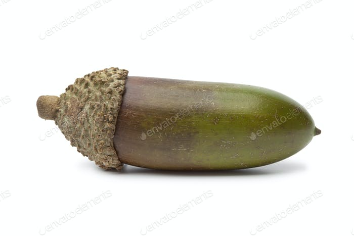 Single fresh Moroccan acorn
