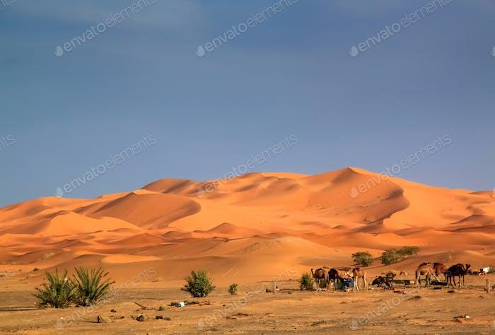 Kamele in den Dünen