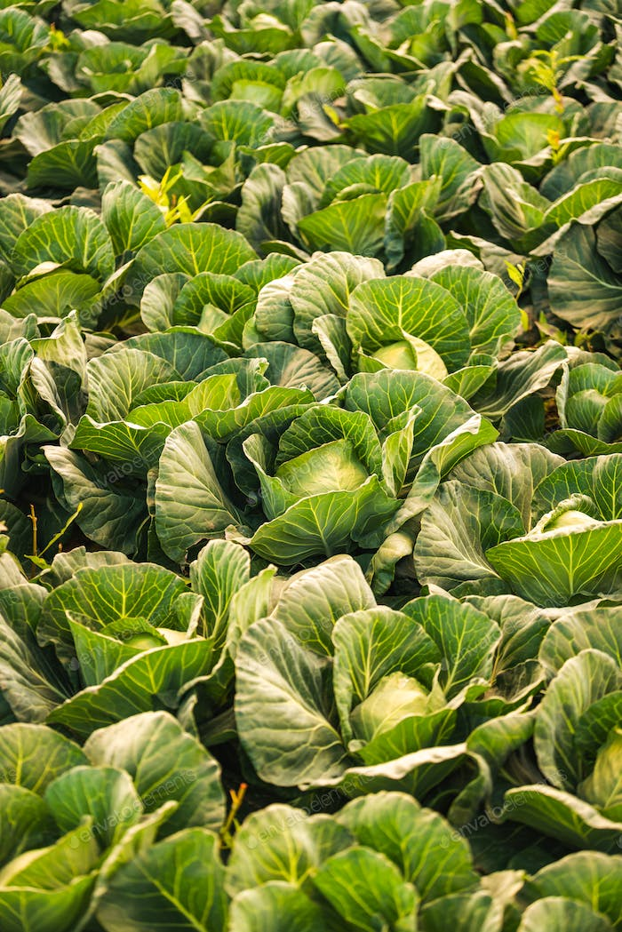 Green cabbages heads in line grow on field